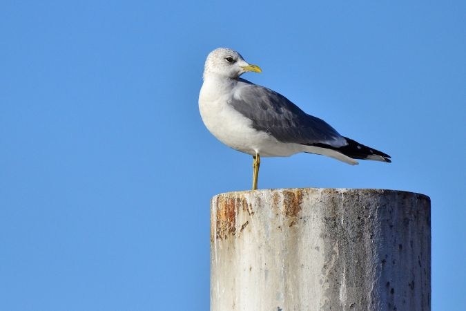 Common Gull (L.c.heinei)  - Alfio Sala