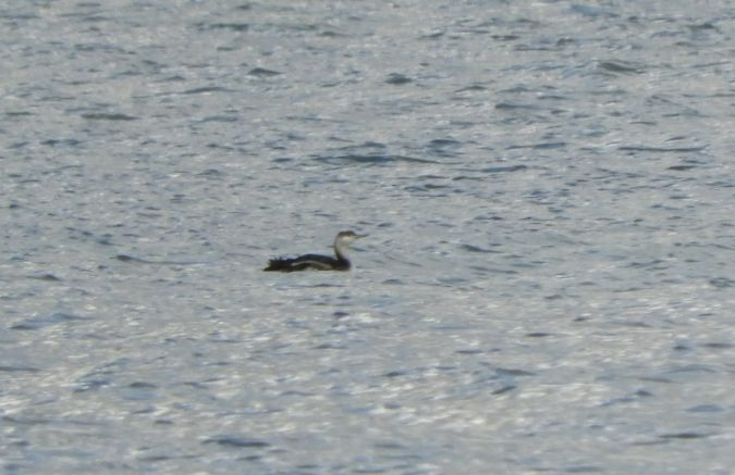 Red-throated Diver  - Cosimo Andreuccetti