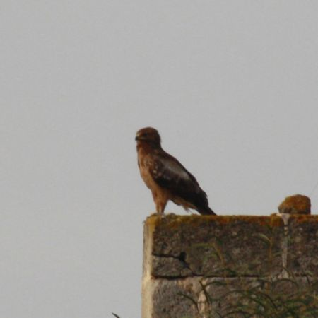 Lesser Spotted Eagle  - Luigina Geusa