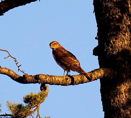 Eurasian Sparrowhawk  - Angelo Pasqua