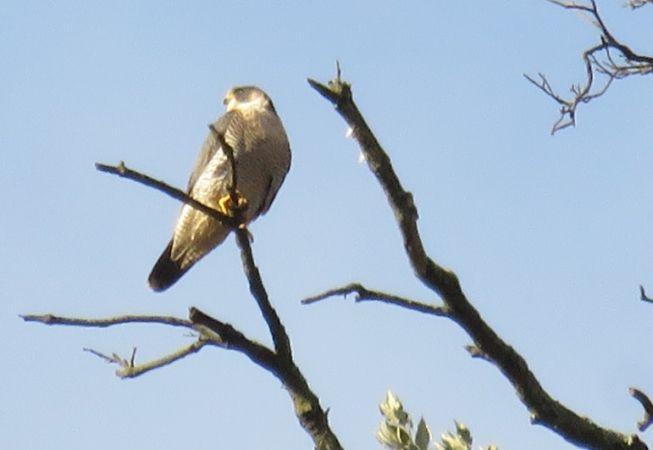 Peregrine Falcon  - Roberto Boscaini
