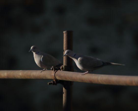 Eurasian Collared Dove  - Marco Esposito