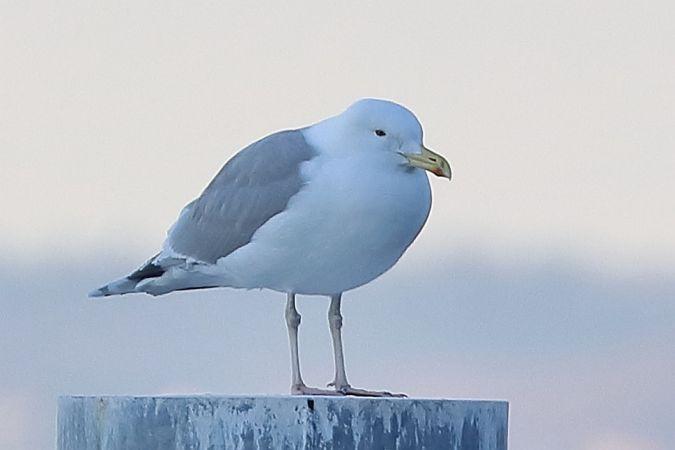 Caspian Gull  - Lorenzo Dalla Libera
