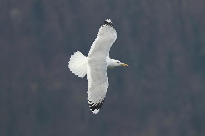 Caspian Gull  - Giuseppe Colombo
