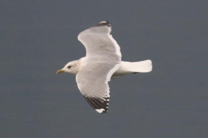 Common Gull (L.c.heinei)  - Giuseppe Colombo