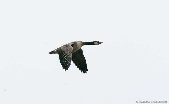 Goose hybrid, unidentified  - Leonardo Visentin