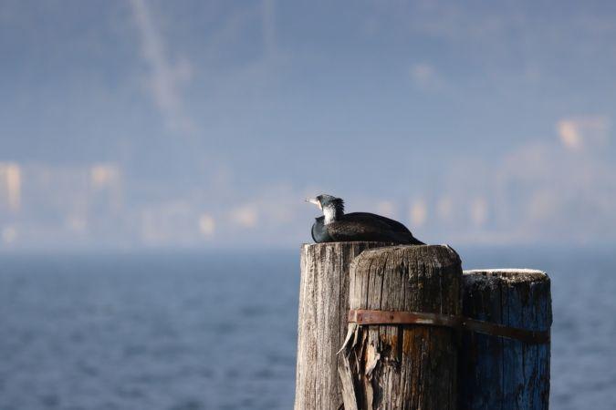 Great Cormorant  - Alessandro Chiello