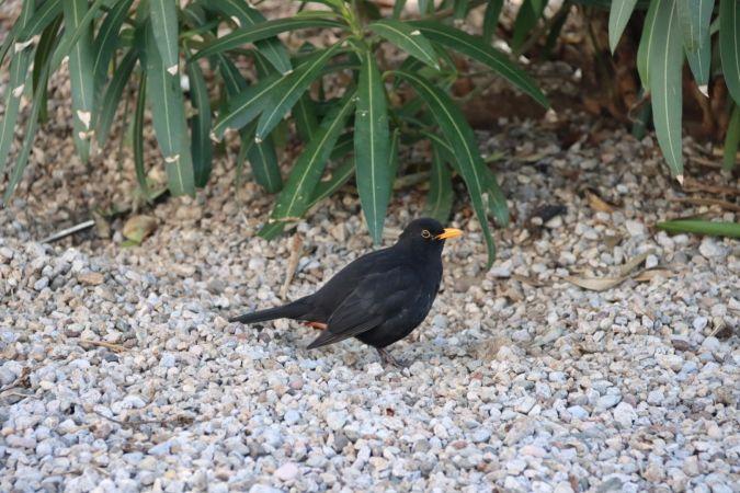Common Blackbird  - Alessandro Chiello