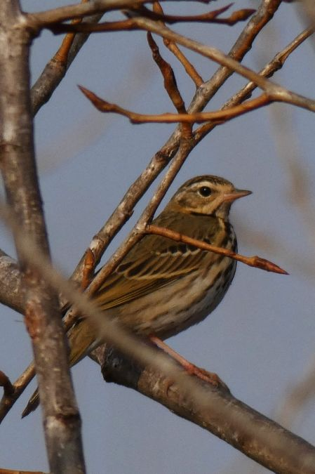 Olive-backed Pipit  - Anonymous