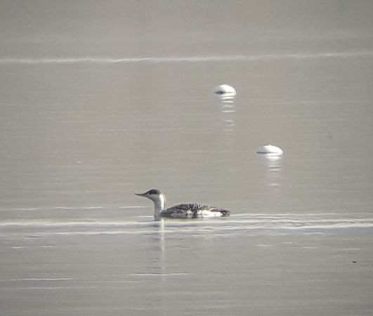 Red-throated Diver  - Luca Nigro