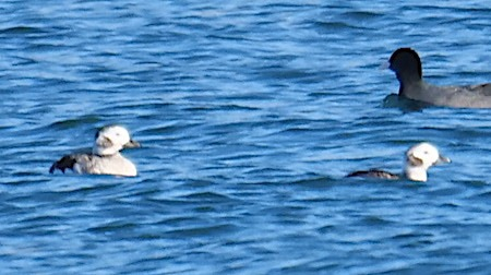 Long-tailed Duck  - Angelo Pasqua