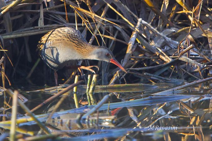 Water Rail  - Anonymous