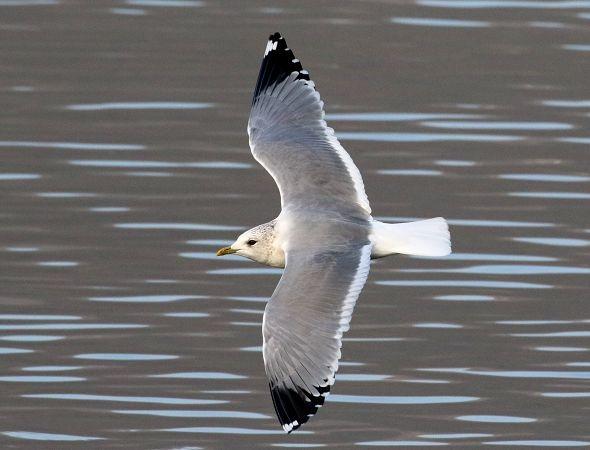 Common Gull (L.c.heinei)  - Enrico Viganò