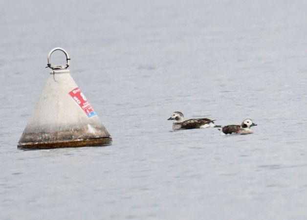 Long-tailed Duck  - Valerio Pezzi