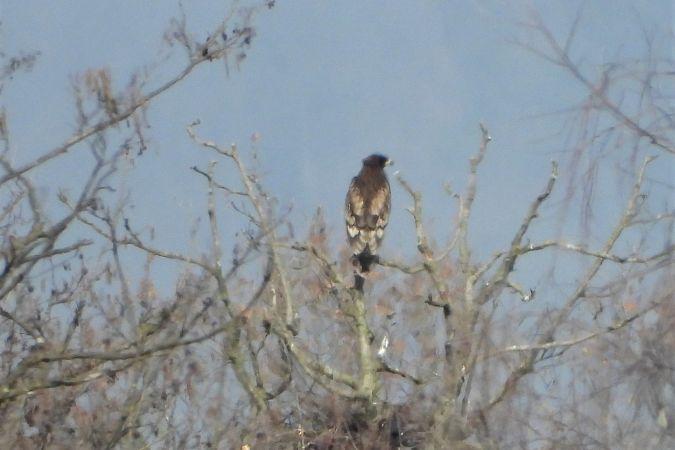 Greater Spotted Eagle  - Carlo Ferrario