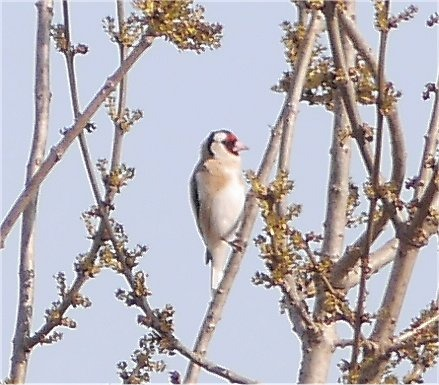 European Goldfinch  - Giampaolo Bonora