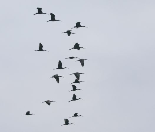 Glossy Ibis  - Paolo Zucca