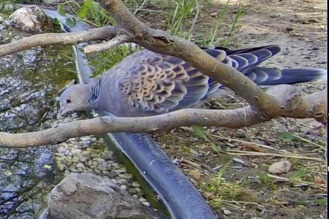Oriental Turtle Dove  - Pier Luigi Taiariol
