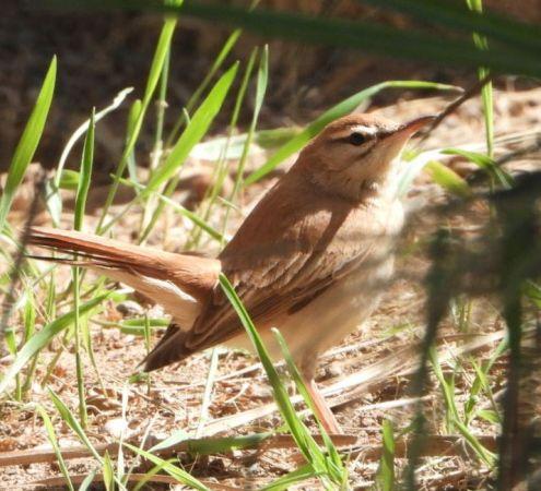 Rufous-tailed Scrub Robin  - Lorenzo Manganaro