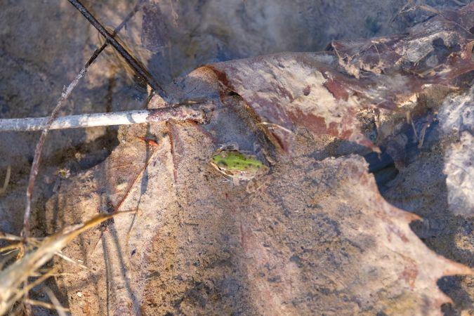 Edible or Pool Frog  - Giulio Quattrin