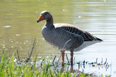 Greylag Goose  - Giuseppe Nassi