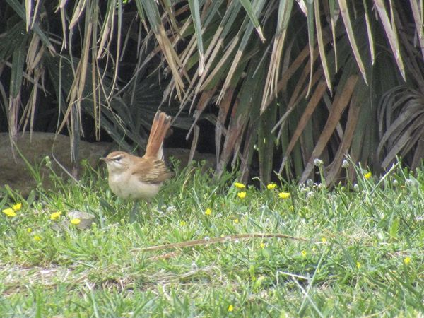 Rufous-tailed Scrub Robin  - Davide Valenti
