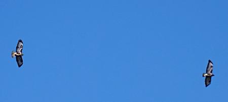 Common Buzzard  - Angelo Pasqua