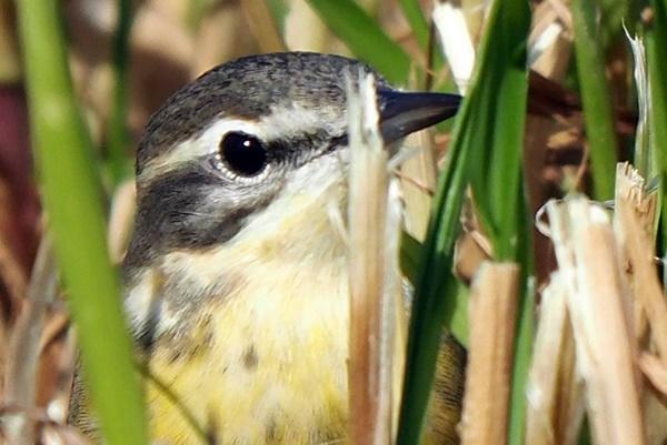 Western Yellow Wagtail (M.f.beema)  - Michele Lamberti