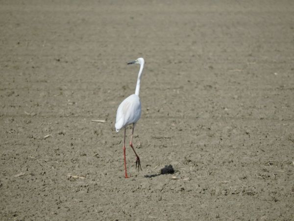 Great Egret (C.a.modestus)  - Paolo Utmar(FVG)