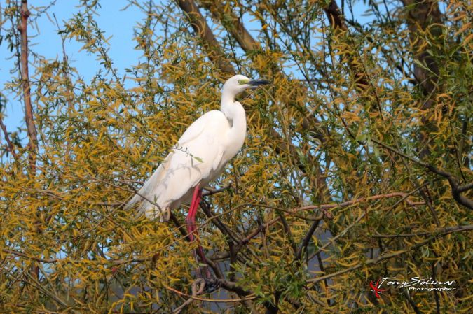 Great Egret (C.a.modestus)  - Tony Solinas