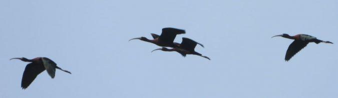 Glossy Ibis  - Lorenzo Manganaro