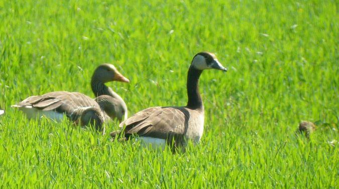Goose hybrid, unidentified  - Andrea Tarozzi