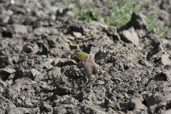 British Yellow Wagtail (ssp. flavissima)  - Massimo Benazzo