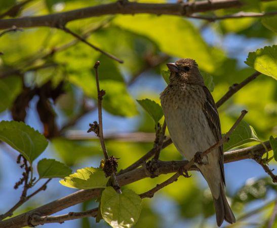 Common Rosefinch  - Innocenzo de Bernardinis