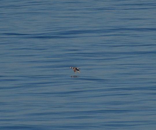 Long-tailed Duck  - Luca Nigro