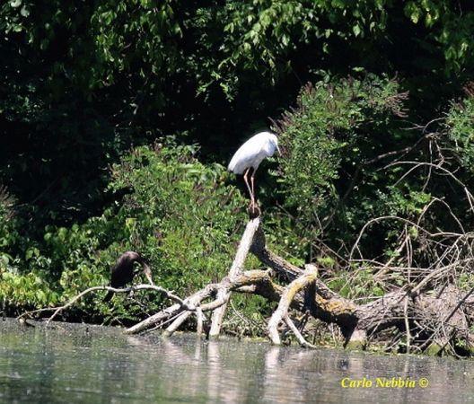 Great Egret (C.a.modestus)  - Carlo Nebbia