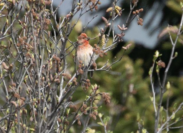 Common Rosefinch  - Paolo Zucca
