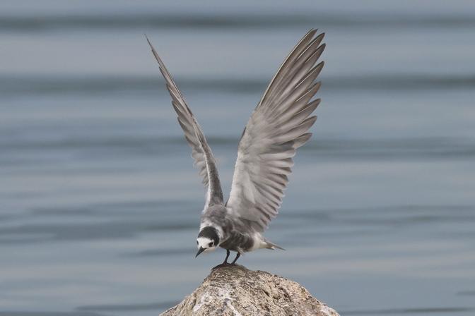 Black Tern  - Giuseppe Colombo