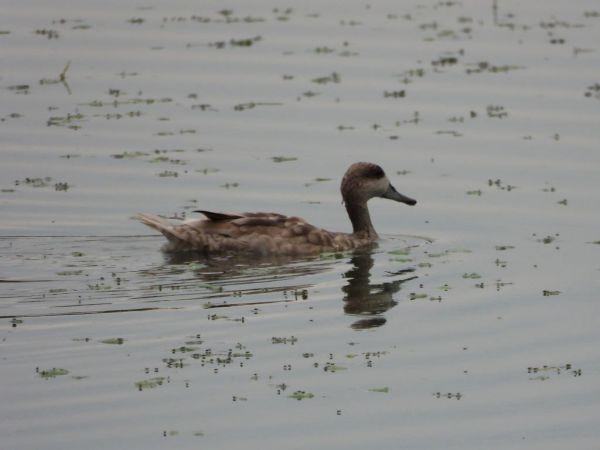Marbled Duck  - Simone Bocca