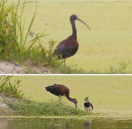 Glossy Ibis  - Giampaolo Bonora