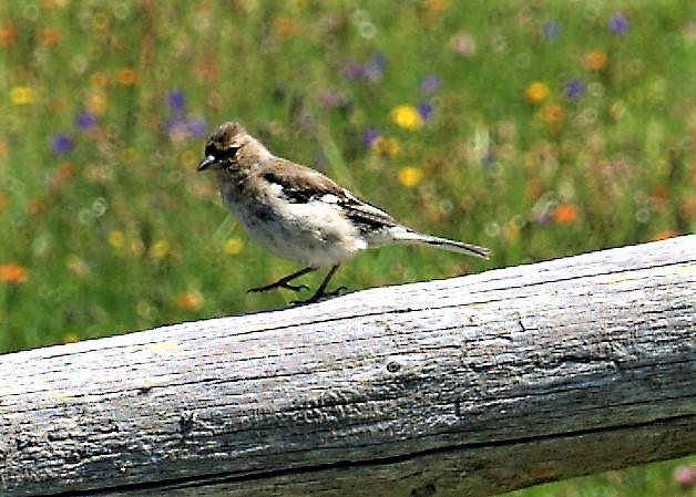 White-winged Snowfinch  - Stefano Brigidi