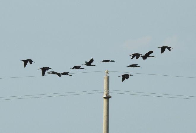 Glossy Ibis  - Massimo Bozza