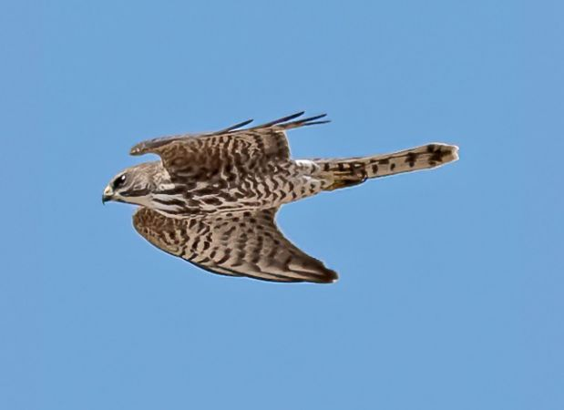 Levant Sparrowhawk  - Paolo Nicolai