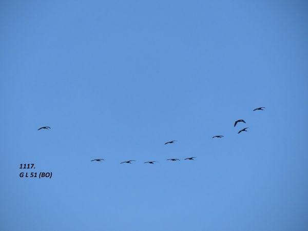 Glossy Ibis  - Giorgio Leoni