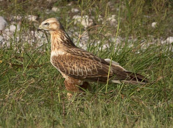 Long-legged Buzzard  - Pier Luigi Taiariol