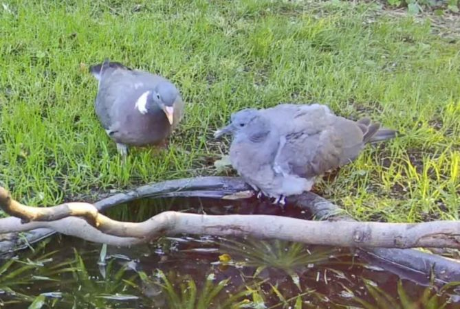 Common Wood Pigeon  - Pier Luigi Taiariol
