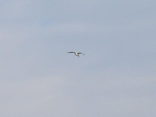 Gull-billed Tern  - Dario Salemi