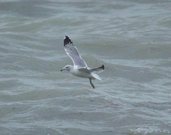 Caspian Gull  - Federico Fanesi