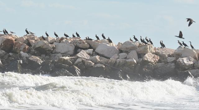 Great Cormorant  - Giuseppe Amodeo