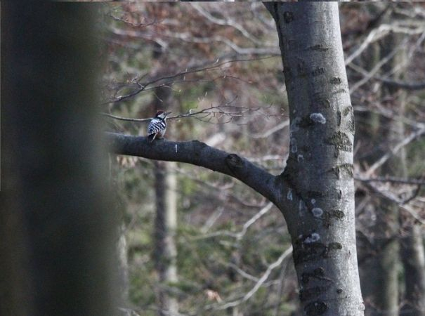 White-backed Woodpecker  - Paweł Lewandowski